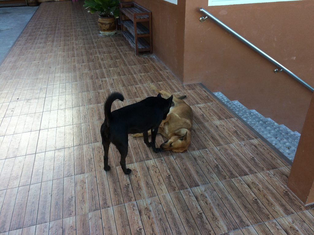リペ島には犬が多い