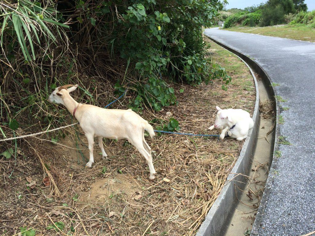 去年いた大神島のヤギ2匹