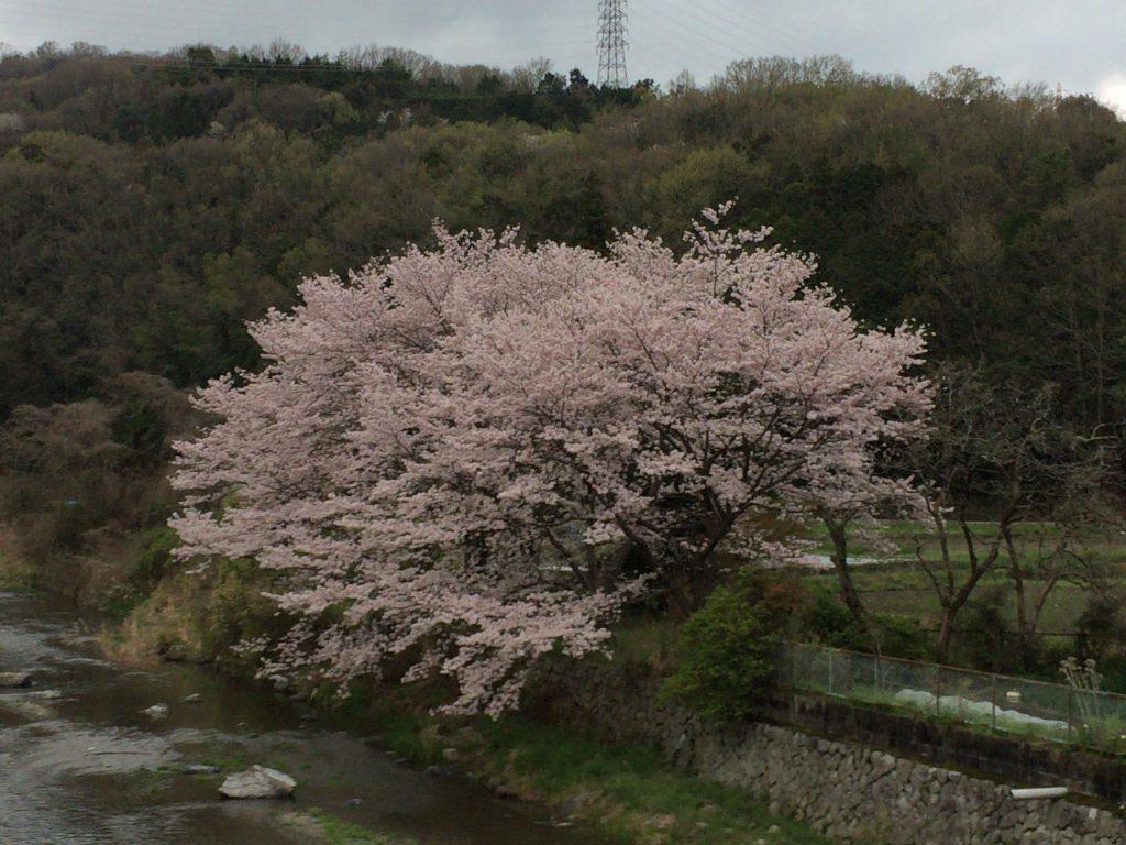 摂津峡の桜