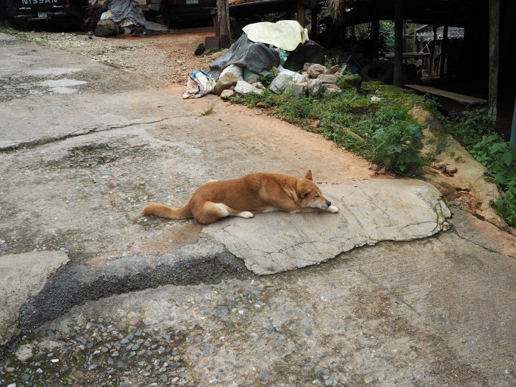 道路の真ん中で寝そべる犬