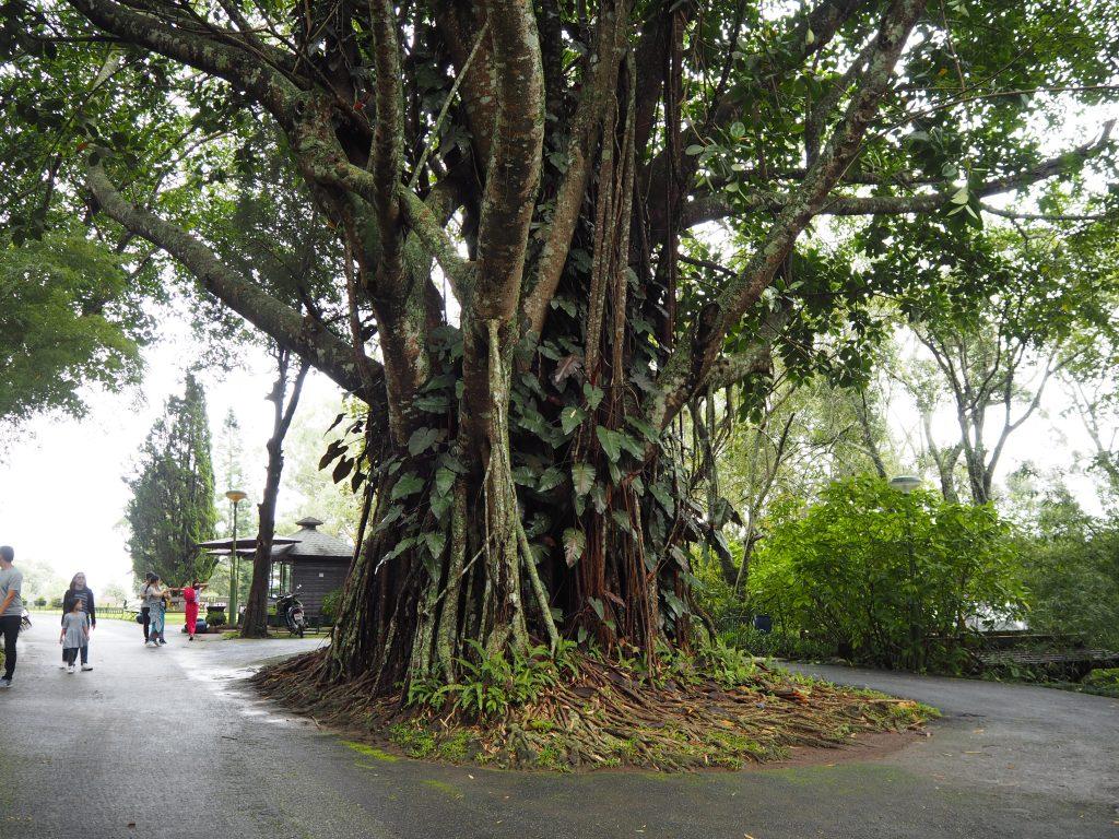 巨木が立ち並ぶ