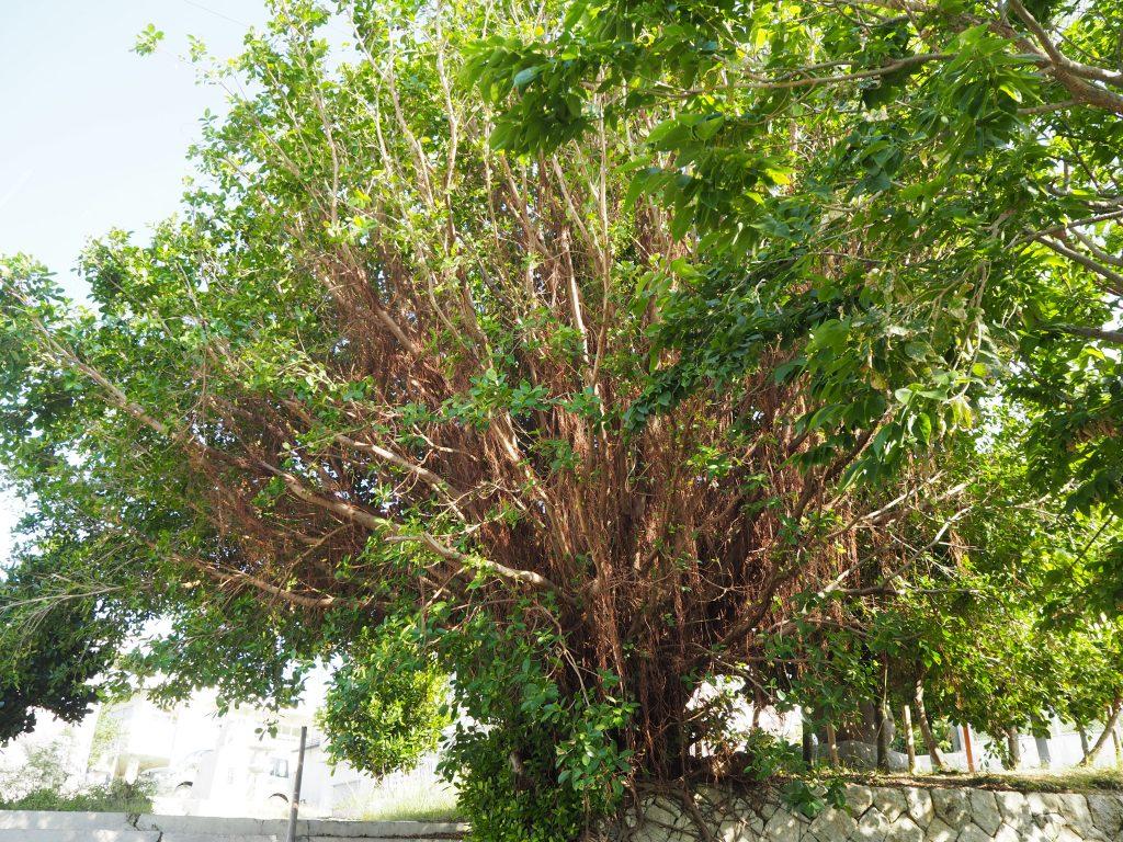 漲水石畳道にある大きなガジュマルの木