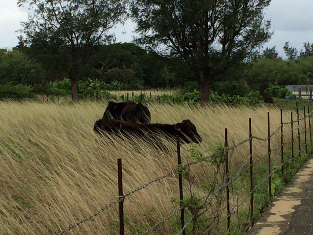 多良間島には牛が多い