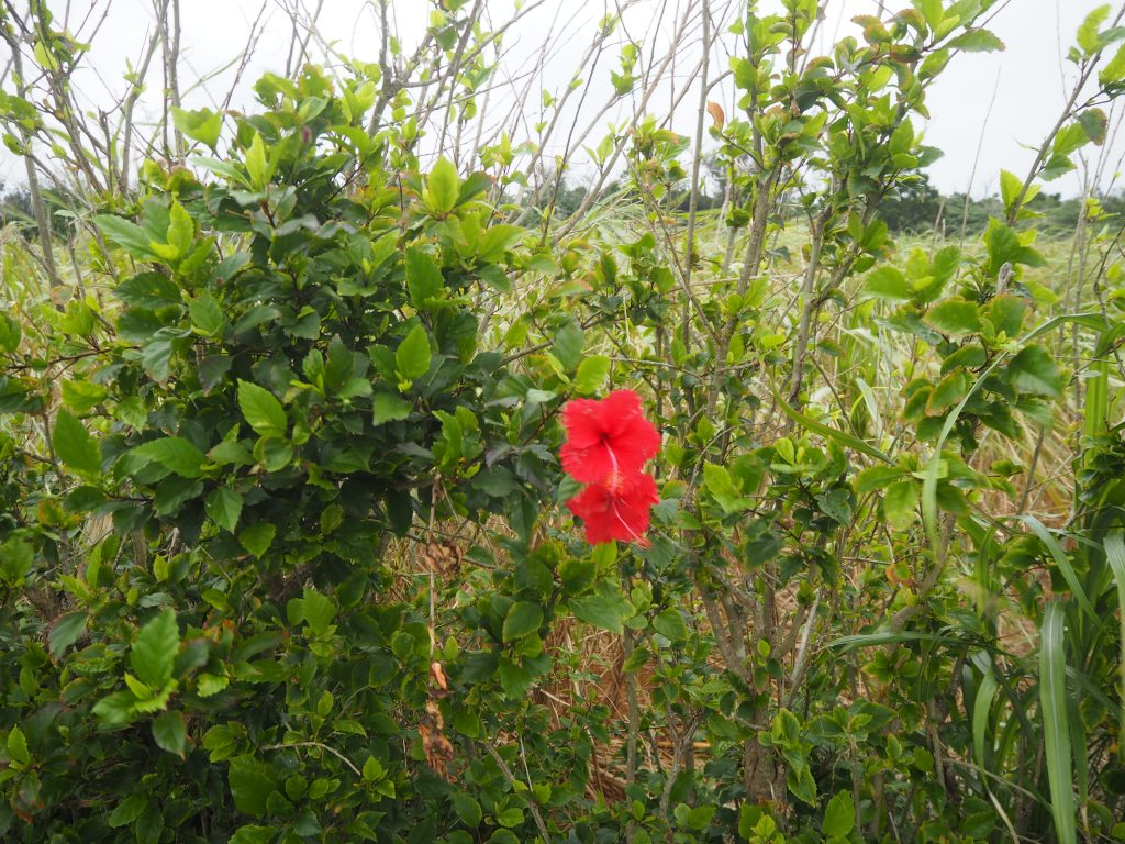 伊良部島に咲く花