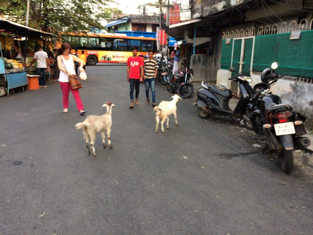 ヤギが歩くフォートコーチンの街中