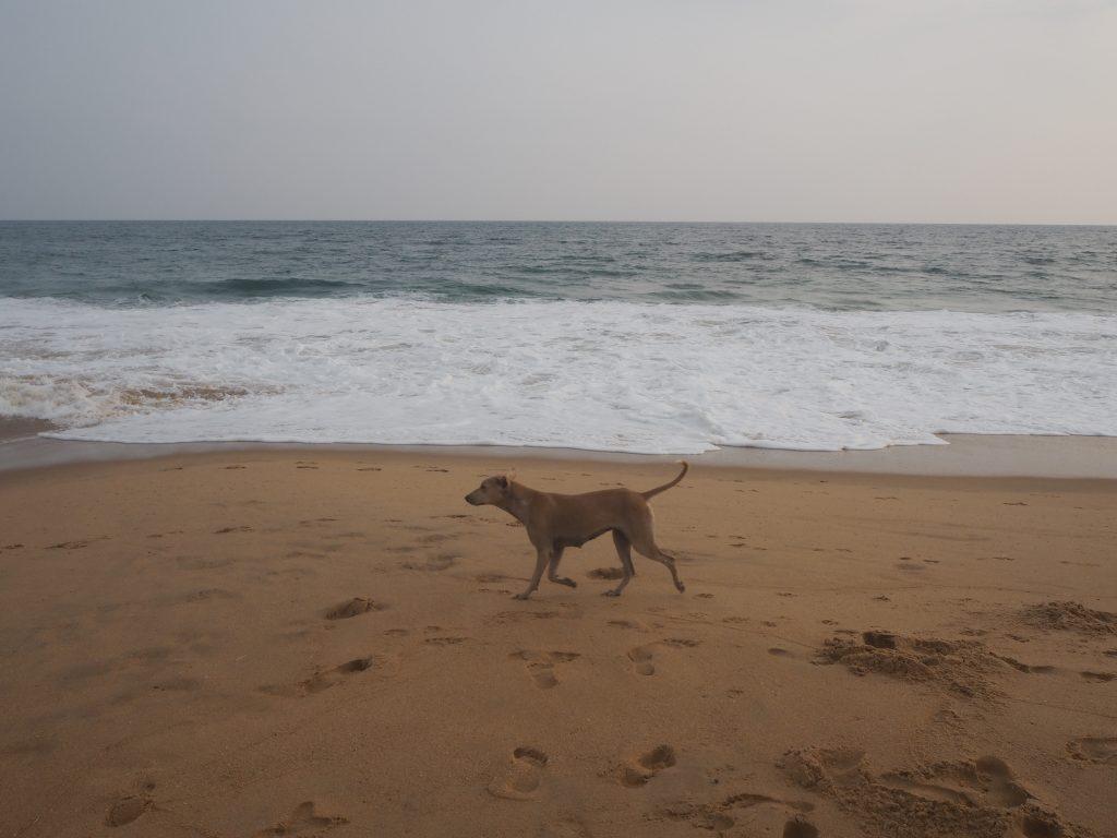 インドのビーチには相変わらず犬が多い