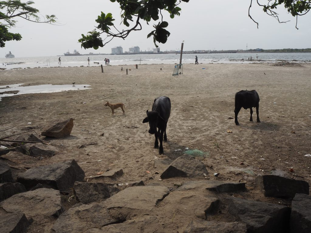 フォートコーチンのビーチ。動物がいるのがいかにもインドらしい