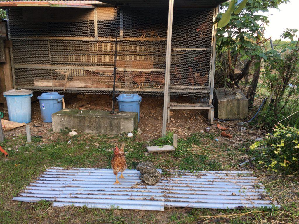 中庭の鶏小屋。朝はこれで目が覚める