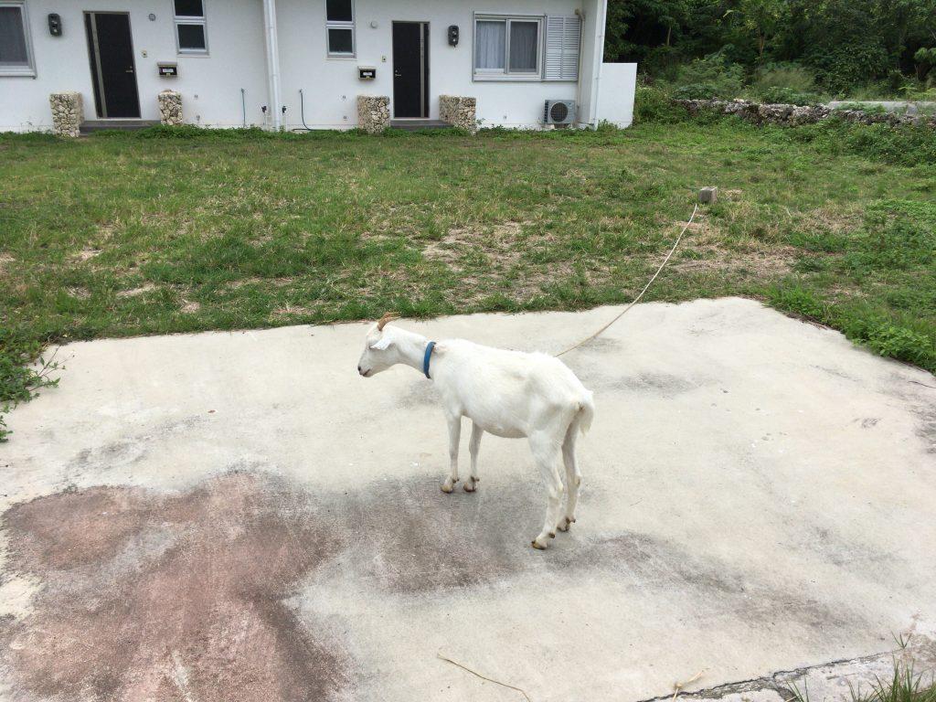 沖縄の離島でお馴染みのヤギもいる