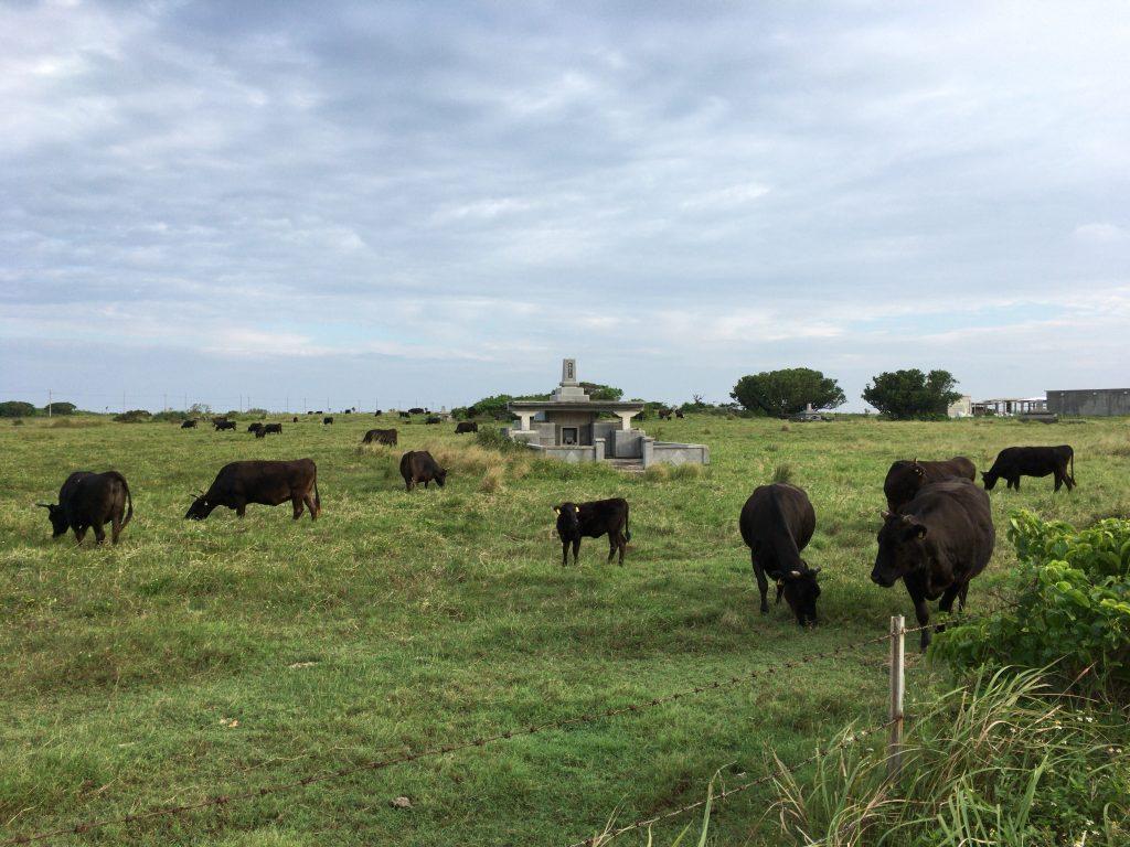 黒島には牛の牧場が多い