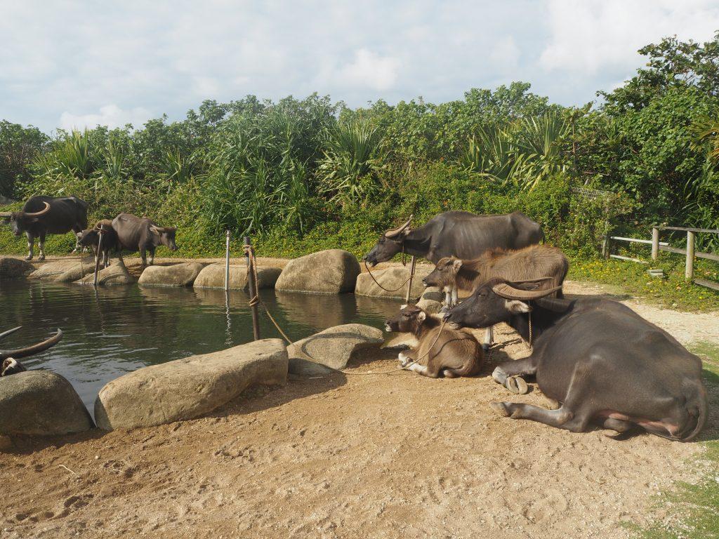 水牛の池。水牛たちの休憩所だ