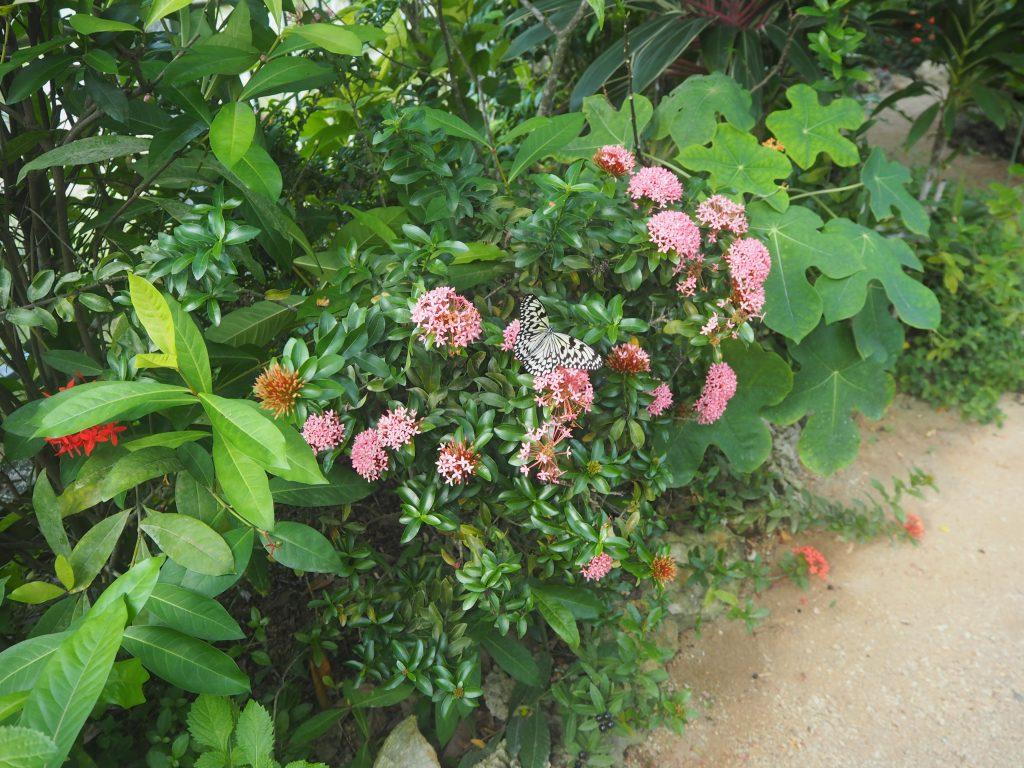 日本最大級の蝶「オオゴマダラ」を見ることができる蝶々園