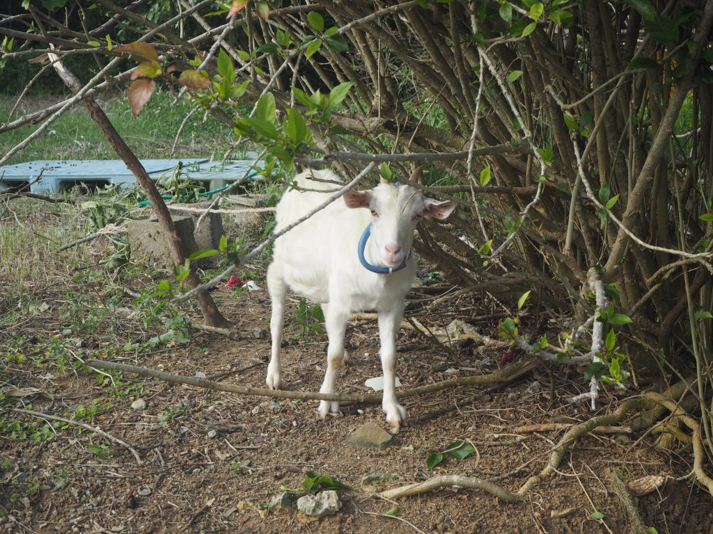 超カメラ目線のヤギ。離れ目の視線に胸キュン
