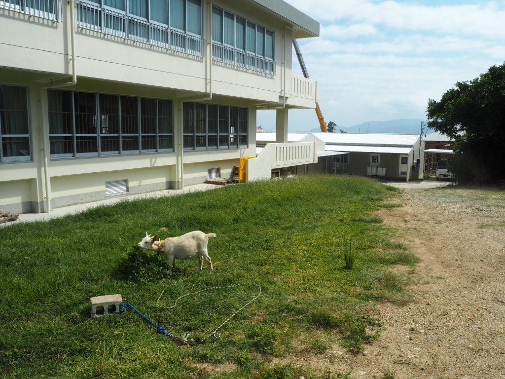 学校にはヤギがいた