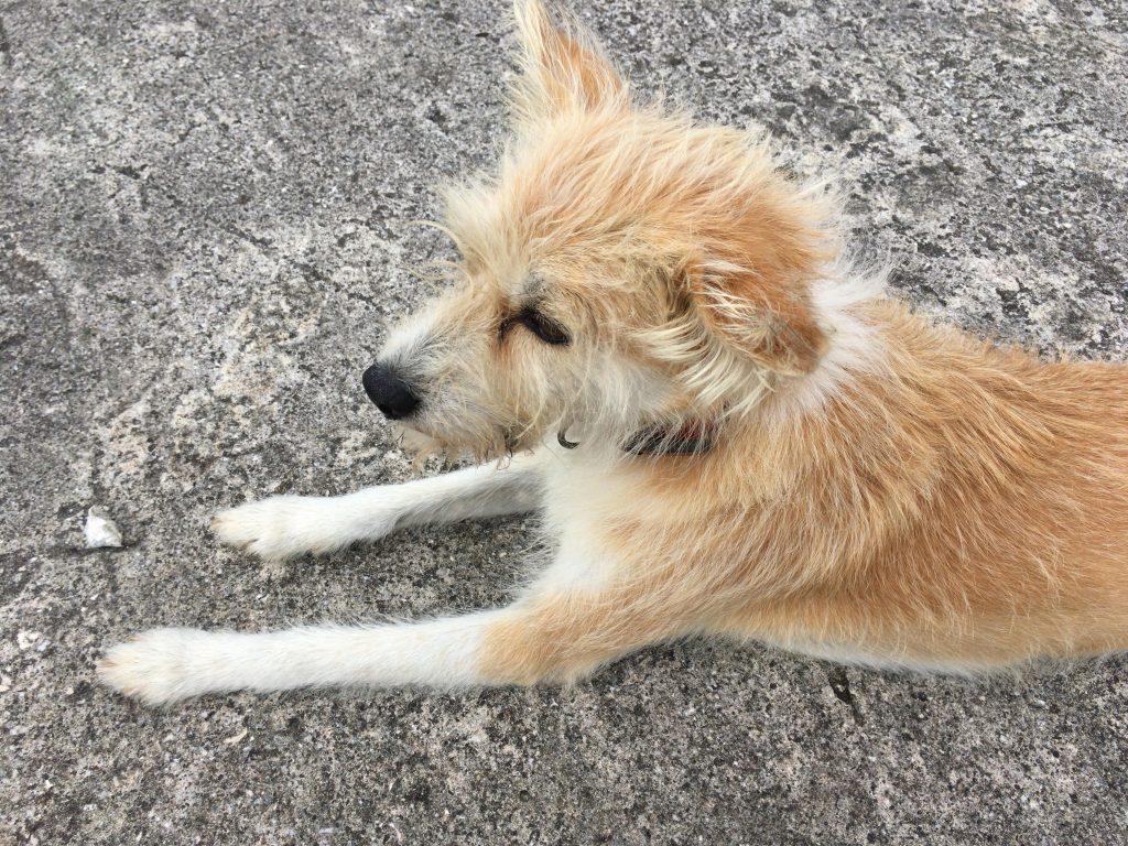 大神島の看板犬・ゆりちゃん