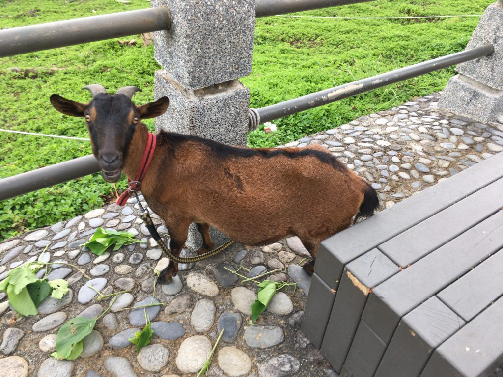 緑島へようこそ。離島と言えばヤギですね
