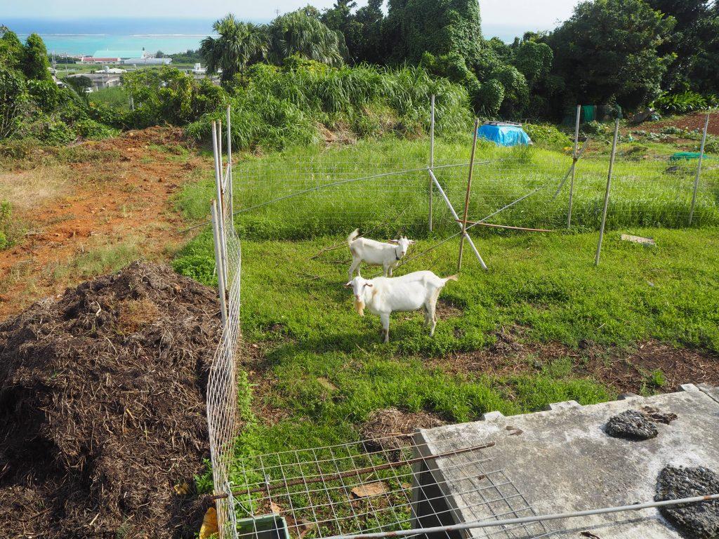 沖縄の離島と言えばヤギ。離れ目の視線に胸キュン