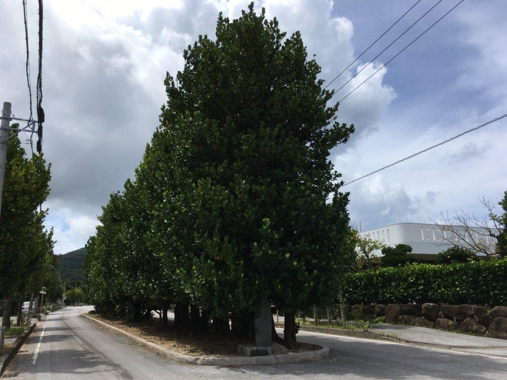 真謝のチュラフクギ。フクギ(福木)は防風林として沖縄でよく使われる