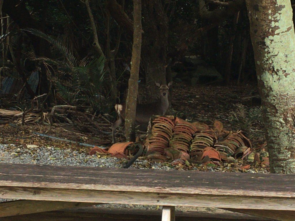 慶留間島のケラマジカ。近づくと逃げます